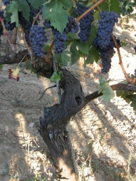 Tempranillo_vine_with_grape_clusters