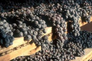 The ancient Romans pioneered the art of intensifying their wines by drying the Amarone fruit.