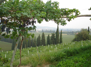 Amarone Pergola