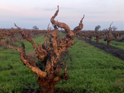 Old Zin Vines Lodi