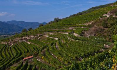 tegernseerhof-vineyard2