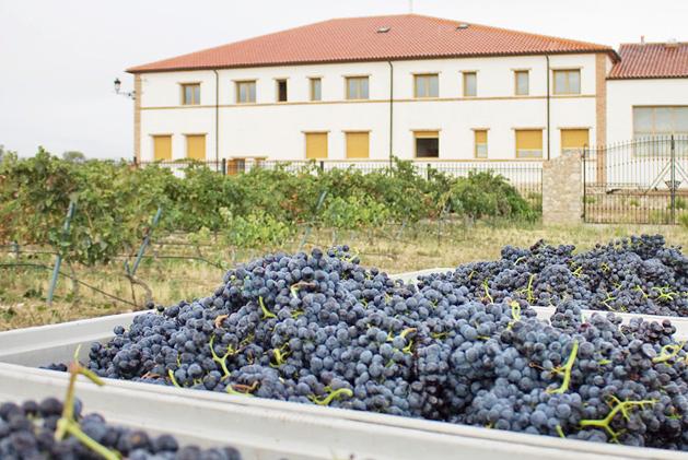 vinsacro-grapes