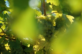 gruner-veltliner-grapes