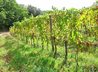 Montenidoli vines