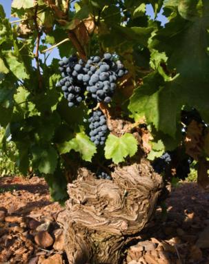 borsao vine