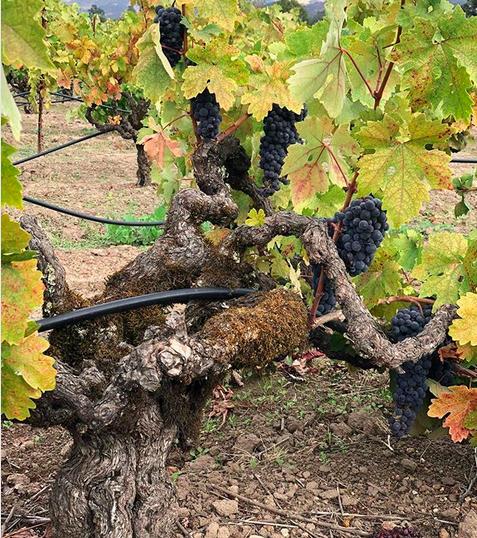 bedrock zin old vines