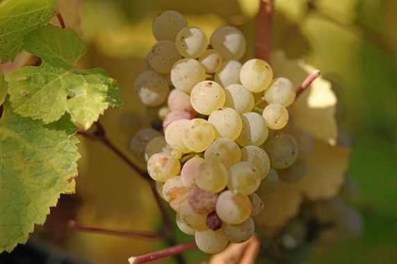 1024px-Riesling_grapes_leaves