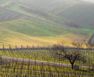 Produttori vineyard