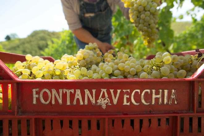 Fontanavecchia falanghina grapes