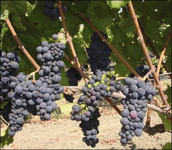 Pinot clones